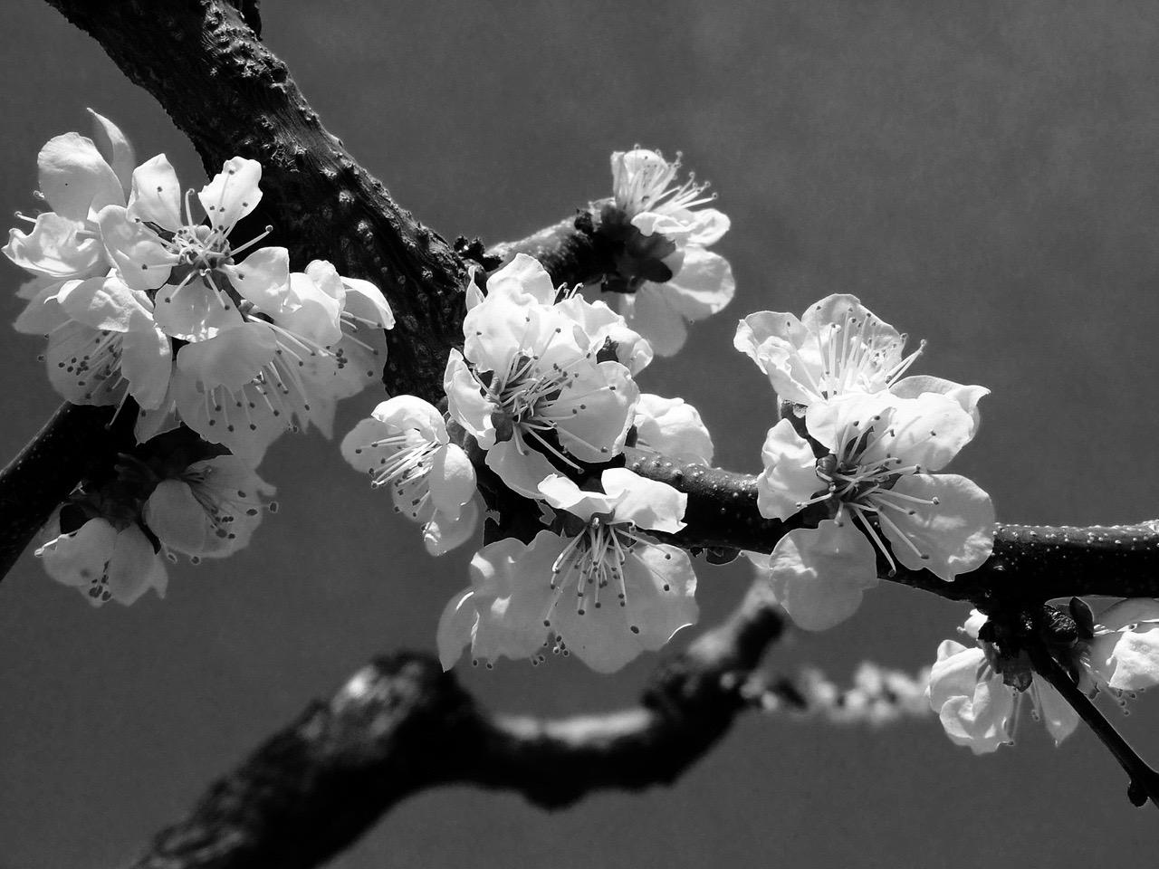 blossoms-1-1358608-1280x960